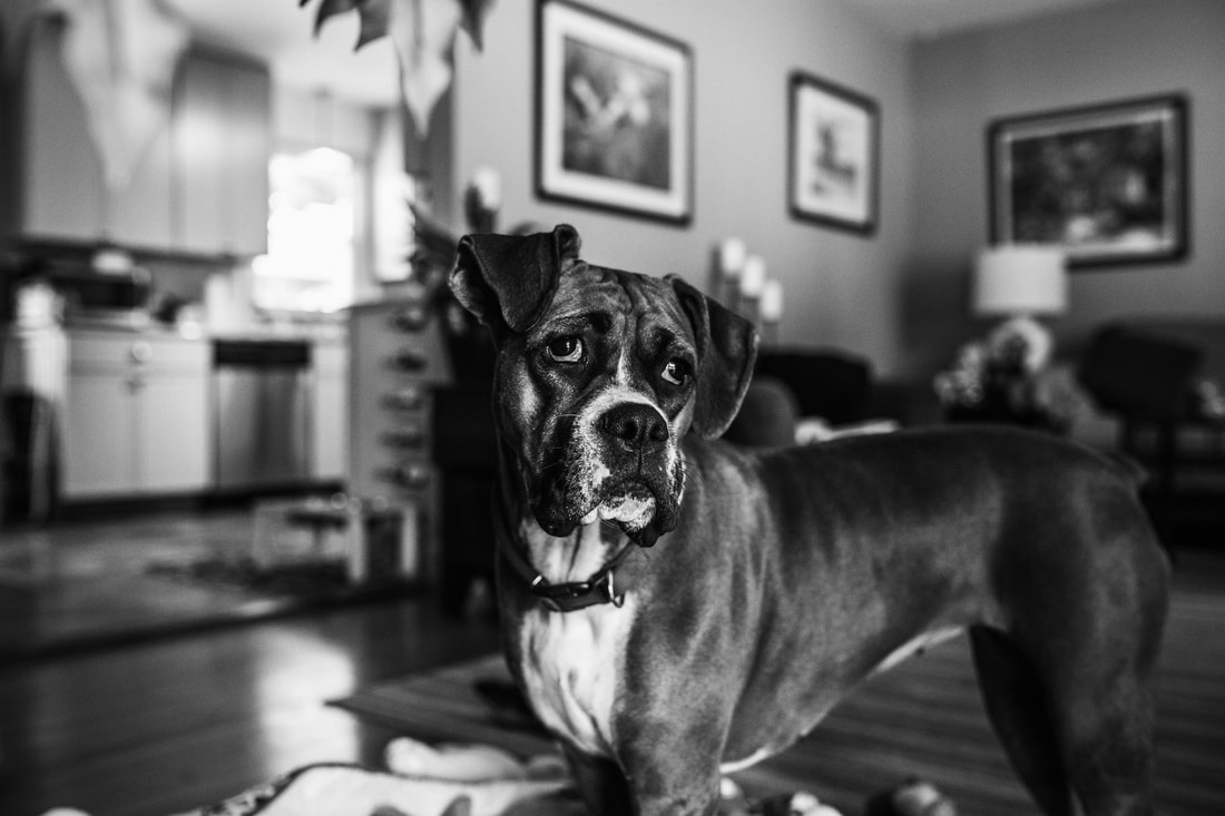 black and white image of boxer dog in the family living room